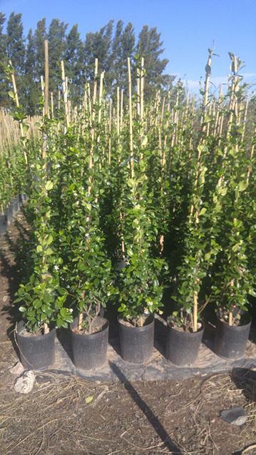 Cultivo el peli venta por mayor de plantas ornamentales for Plantas ornamentales de exterior